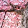 桜撮影のポイントを考えてみた!