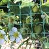 イチゴの収穫はいつだっけ