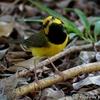 人を怖がらない Hooded Warbler (フーデド ワーブラー)
