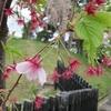 花咲く日がまたまた遠ざかる日本ー1