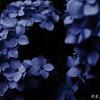 紫陽花ばかり