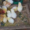 卵が先?鶏が先?養鶏場でのイタチごっこの実態とは…