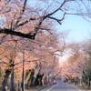 都内の穴場的お花見スポット!シンプルで静かなお花見が楽しめる「谷中霊園」へ