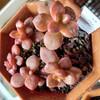 🌵多肉植物  真っ赤なあんみつ姫❤️他🌵