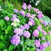 紫陽花が見頃だよ!須坂市百々川緑地公園