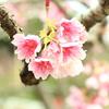 日本一早い桜を見てきました。八重岳桜まつり