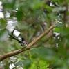 尾の短いサンコウチョウ