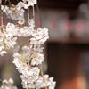 2018年3月28日、京都サボリ旅。平野神社を桜を堪能する。