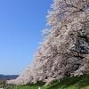 自転車で行く 『背割堤さくらまつり』 ~淀川の桜の名所までサイクリングです~