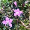 花を求めて,〜鎌倉宝戒寺〜おんめさま(大功寺)を散策.家々の庭には山茶花・夏みかんが目立ちます.宝戒寺では,センリョウ,マンリョウの赤い実.スイセンも咲き始めていました.おんめさまの散策路,ホトトギス,ノギクなどがかわいらしい花々の中に,見慣れぬ花.赤花のハクチョウゲ.本来は初夏の花のはずですが----.アカネ科アカネ亜科ヘクソカズラ連ハクチョウゲ属で「剪定すると切断面は強い臭気を放つ」そうです.