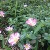 夏の花壇にポーチュラカ~手間なく華やか~