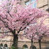 桜咲き始め