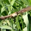 巣材を運ぶオオヨシキリ