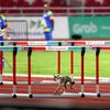 ジャカルタ・アジア大会の100mハードル予選に野良猫が乱入!そこはハードルをくぐらずに、ジャンプしてよ!www
