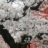 満開の桜ときょうのタケノコ料理