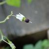 毒を持つナス科の植物 おいしそうなヒヨドリジョウゴに注意