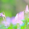 かたくり②(冬と春のはざまで)