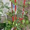 【家庭菜園】たわわに実るミニトマトと枝豆の花
