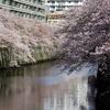 目黒川の桜K-5+SIGMA100-300m