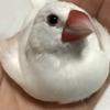 文鳥が病気!?体調不良?さっぽろ小鳥のクリニックにいってきました。【鳥のこと】