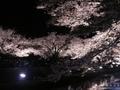 1年で3時間だけのライトアップ 野川の夜桜