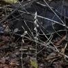 薄暗い森に咲いていたタシロラン