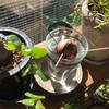 アボカドの種、発芽チャレンジ