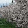 京都の平野部は満開ですが!