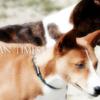 吠えない犬バセンジーの声を聴いてみよう【古代犬種】