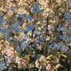 イギリスの桜