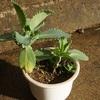 コダカラベンケイの植え替えとトマトの花