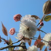 水前寺児童公園と旧市体育館跡公園の八重桜