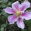 3年目の「クレマチス」の花盛りに期待