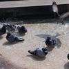 鳩の水浴び−鳩は知っている