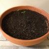 【レモン栽培記】種まきから77日後のレモンの芽。