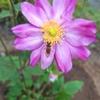 庭に迎えたシュウメイギクと種まきいろいろ