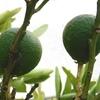 庭の柑橘類