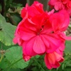 生命力のあるゼラニウムの花