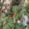 ニシキギの赤い実