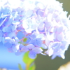 狂い咲き④ 紫陽花