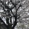 桜(薬師寺)