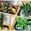育成して半年を経過した多肉植物たちの成長日記【怪魔玉、星の林、竜城、他1種】