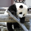 南紀白浜アドベンチャーワールドで本日パンダの赤ちゃん誕生☆JALマイルを貯めるモチベーションに