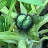 アイスランドポピーの蕾、ラズベリーの冬越し、スノードロップの成長、水仙の開花、アデニウムの開花、近所の菜の花、ゴールデンベリーの収穫