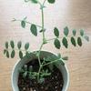 黒ひよこ豆成長期