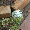 花が咲くまで忘れてた、アラビス オールド ゴールド