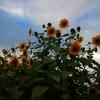 向日葵の空