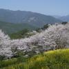 ひょうたん桜2