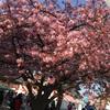 ミウイチと桜まつり。