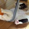 現在の子猫サイベリアンと先住猫の関係